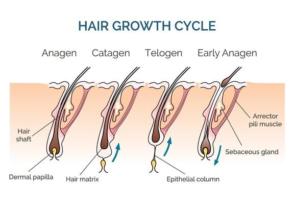 Veranschaulichung der vier Wachtumsphasen eines Kopfhaars